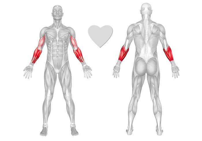 Muscolo avambraccio – anatomia ed esercizi per gli allenamenti