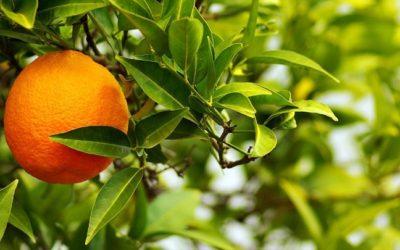 Citrus Aurantium, l'agrume per l'aromaterapia
