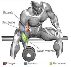 curl-concentrato-muscoli-coinvolti