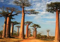 baobab-proprieta
