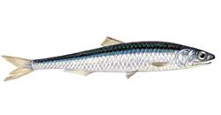 pesce-azzurro-elenco-alice