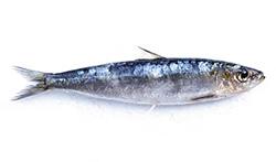 pesce-azzurro-elenco-sardina