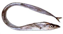 pesce-azzurro-elenco-sciabola