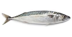 pesce-azzurro-elenco-sgombro