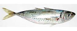 pesce-azzurro-elenco-suro-sugarello