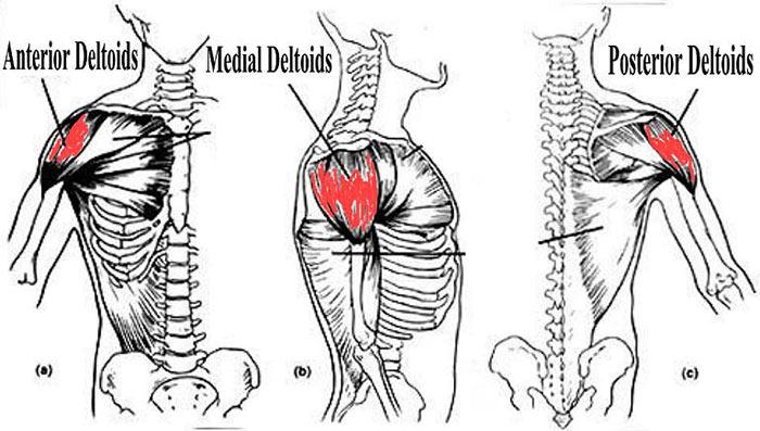 Esercizi deltoidi allenare le spalle in modo efficace for Tattoo spalla anteriore