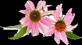 echinacea-fiore