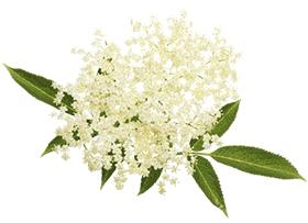 sambuco-fiore