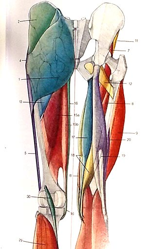 bicipite-femorale-anatomia