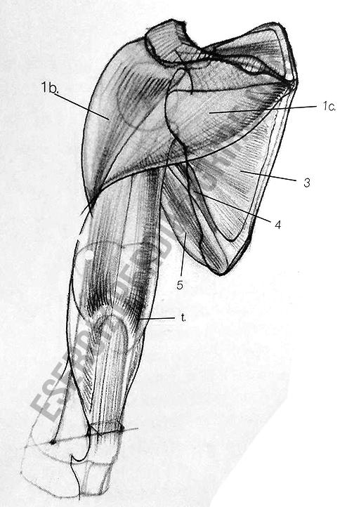 muscoli-spalla-posteriori