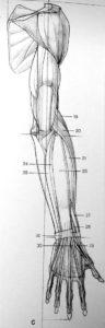 muscolo-braccio