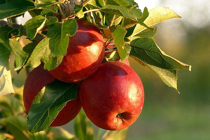 le-mele-fanno-ingrassare