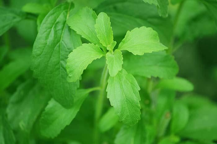 stevia-cancerogena