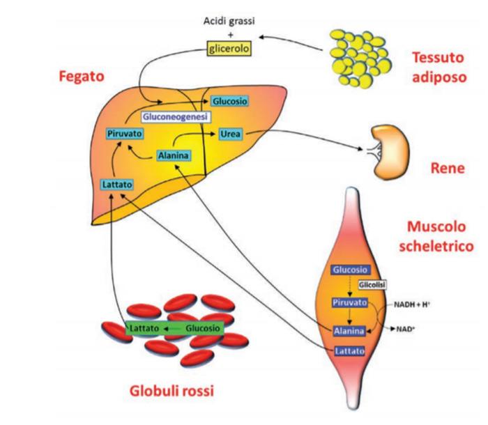 metabolismo-dei-carboidrati