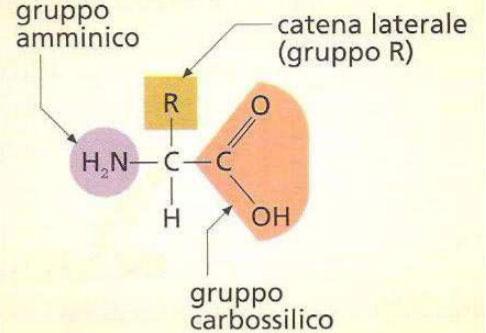 peptidi-cosa-sono-aminoacidi