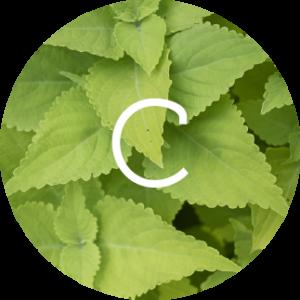 coleus-forkolii-herbactil